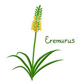 Eremurus plant iilustration Royalty Free Stock Photo