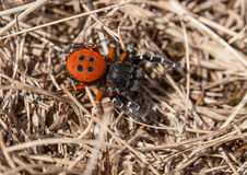 Eresus moravicus - Red lady bird spider Royalty Free Stock Image