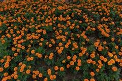 Ereta cama-africano L do cravo-de-defunto-Tagetes da flor da rua imagem de stock