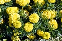 Ereta 'descoberta F1 amarelos' de Tagetes imagens de stock