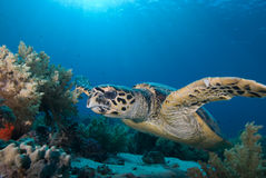 eretmochelys hawksbill χελώνα imbricata Στοκ Φωτογραφίες