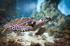 Eretmochelys imbricata Stock Photography
