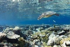 Eretmochelys Imbricata de la tortuga de Hawksbill Imágenes de archivo libres de regalías