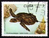 Eretmochelys imbricata della tartaruga, circa 1983 Fotografia Stock Libera da Diritti