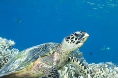 Eretmochelys Imbricata della tartaruga di Hawksbill Fotografie Stock Libere da Diritti