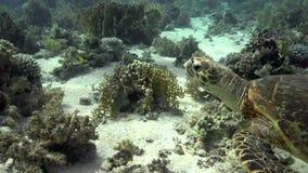 Eretmochelys imbricata della tartaruga di Hawksbill che nuota nel Mar Rosso archivi video