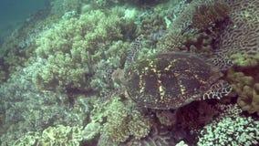 Eretmochelys imbricata della tartaruga di Hawksbill nel corallo sull'isola di Apo stock footage