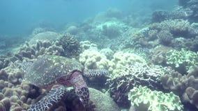 Eretmochelys imbricata della tartaruga di Hawksbill nel corallo sull'isola di Apo archivi video