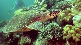 Eretmochelys imbricata della tartaruga di Hawksbill nel corallo sull'isola di Apo video d archivio