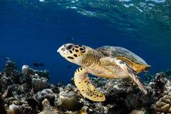 Eretmochelys imbricata - hawksbill Meeresschildkröte Stockbild