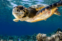 Eretmochelys imbricata - hawksbill sea turtle. Hawksbill sea turtle (Eretmochelys imbricata) in blue lagoon of Indian Ocean - Maldives stock photography