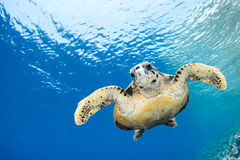 Eretmochelys imbricata - hawksbill sea turtle. Hawksbill sea turtle (Eretmochelys imbricata) in blue lagoon of Indian Ocean - Maldives royalty free stock photo