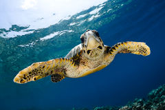 Eretmochelys imbricata - hawksbill sea turtle Royalty Free Stock Image