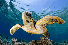 Eretmochelys imbricata - hawksbill sea turtle Royalty Free Stock Photos