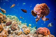 Eretmochelys imbricata. Turtle - Eretmochelys imbricata floats under water. Maldives Indian Ocean royalty free stock images