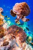 Eretmochelys imbricata. Turtle - Eretmochelys imbricata floats under water. Maldives Indian Ocean stock photos