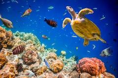 Eretmochelys imbricata. Turtle - Eretmochelys imbricata floats under water. Maldives Indian Ocean royalty free stock photography