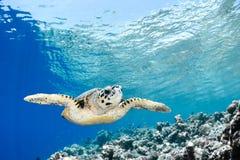 Eretmochelysimbricata - hawksbillhavssköldpadda Arkivbilder