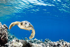 Eretmochelysimbricata - hawksbillhavssköldpadda Royaltyfria Bilder