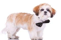 Ereto pouco filhote de cachorro do tzu do shih Fotografia de Stock Royalty Free