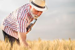 Erfüllte graue behaarte Untersuchungsweizenanlagen des Agronomen oder des Landwirts vor der Ernte lizenzfreie stockfotografie