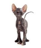 Erfülltes unbehaartes sphynx Kätzchen Stockfotografie