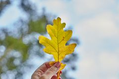 Erf holds an oak leaf stock photography