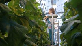 Erfahrener Agronom bindet oben die Gurken, die im landwirtschaftlichen Betrieb wachsen stock video
