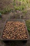 Erfassung der Kartoffelernte Metallim ländlichen Laufkatzenwarenkorb auf organischem Stockfotografie