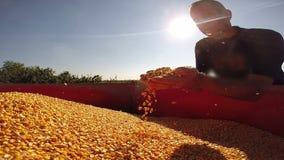 Erfolgreiche Landwirt-Checking His Corn-Körner und sich zeigen Daumen stock footage