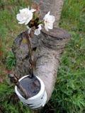 Erfolgreiche Transplantation in der Niederlassung eines Kirschbaums Lizenzfreie Stockfotografie