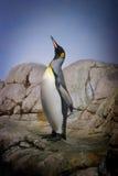 Erfolgreicher Pinguin Stockfoto