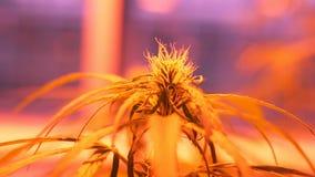 Erforschen Sie medizinischen Hanf der Wissenschaft, Marihuanadetail, Maß der Fotosynthese, große Knospe mit Stempeln stock footage