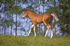 Erforschungsweide Waliser-Gebirgs-Pony Foals stockbild