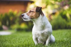 Erfreuter Jack Russell-Terrierhund, der auf Sommerrasen des grünen Grases sitzt Lizenzfreie Stockfotografie