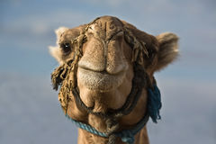 Erg Chebbi Camel Head Stock Photography