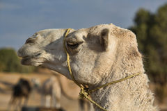 Erg Chebbi white camel Royalty Free Stock Images