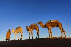 Dromedary caravan at sunrise in Erg Chegaga, Morocco Stock Images
