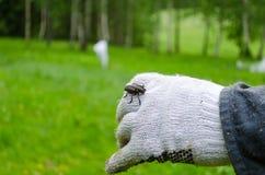 Ergates faber on white gloves Royalty Free Stock Photography