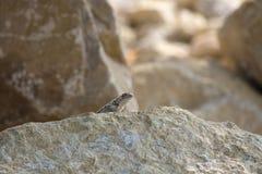 Ergatterte Eidechse Crotaphytus bicintores, die heraus von hinten einen Sandsteinfelsen in Utah-Wüste peeeking sind lizenzfreie stockfotos