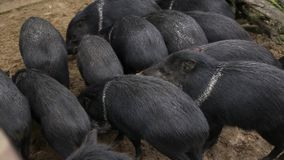 Ergatterte essende und grabende Pekari pecari tajacu wilde Schweintiere stock video
