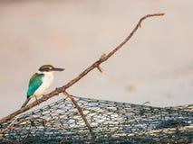 Ergatterter Eisvogel auf Fischnetz-Niederlassung im Morgen-Licht Stockbild