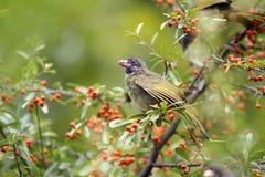 Ergattertes Finchbill stockbild