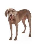 Ergebene Weimaraner-Hundestellung Stockbild
