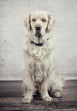 Ergebener, ruhiger Hund, der seinen Meister wartet Lizenzfreies Stockbild