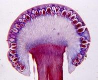 Free Ergot Mushroom In Longitudinal Section Stock Images - 194440414