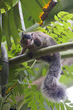 Ergrautes riesiges Eichhörnchen Ratufa Lizenzfreie Stockfotos