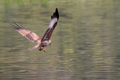 Ergreifennahrung des Adlers Stockfotos