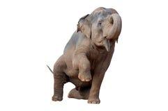 Erhöhung des asiatischen Elefanten ein Fahrwerkbein Stockbild