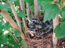 Erhalten gedrängt! - Baby-Rotkehlchen im Nest Stockbilder